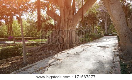 Ancient ficus in a botanical garden of Malta. Ancient mighty ficus with large roots. Design, effects, toning