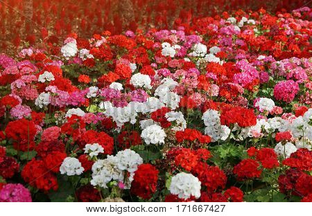 Flowerbed with colorful flowers of geraniums in sun rays. Floral background, selective focus, toning and effects.