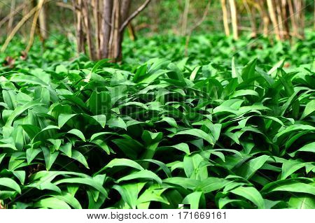 Wild garlic (Allium ursinum) in the forest with trees in the background
