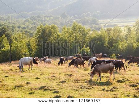 Cows grazing on a green meadow in summer