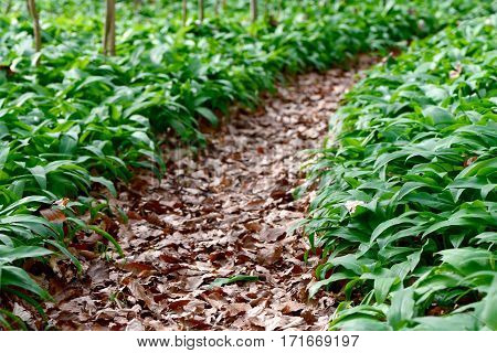 Forest path through wild garlic (Allium ursinum)