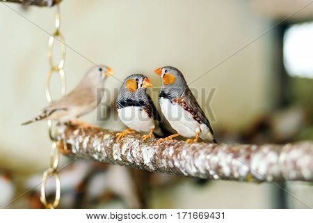 Wild birds sitting on a perch in a large cage in the background of many of the same birds.