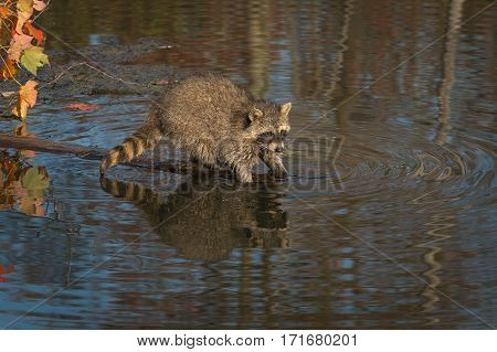 Raccoon (Procyon lotor) Washes in Pond - captive animal
