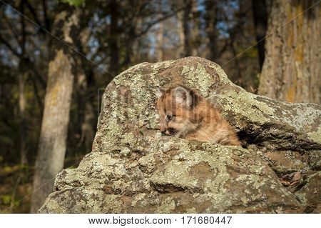 Female Cougar Kitten (Puma concolor) in Rocks - captive animal