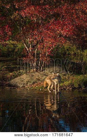 Coyote (Canis latrans) Reflected in Water - captive animal