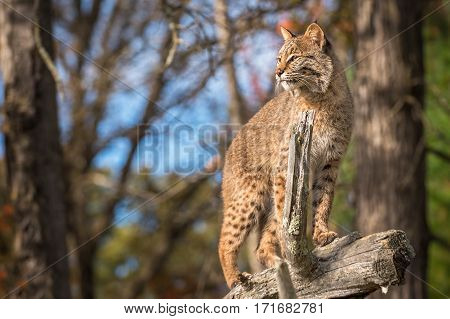 Bobcat (Lynx rufus) Stands Up Tall Atop Branch - captive animal