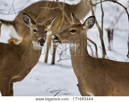 Beautiful Photo Of Three Wild Deer Together In The Snowy Forest