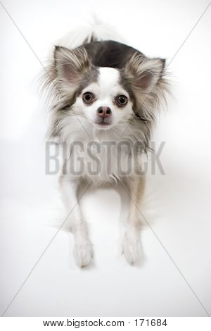 Blue And White Long Coat Chihuahua