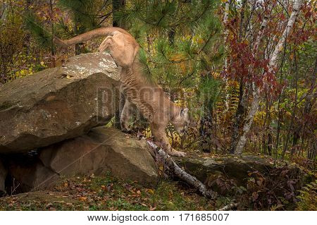 Adult Male Cougar (Puma concolor) Climbs Off Rocks - captive animal
