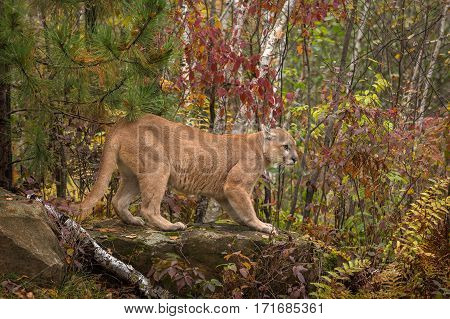 Adult Male Cougar (Puma concolor) On Rock Ears Back - captive animal