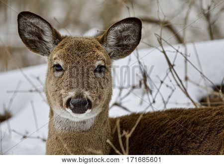 Beautiful Isolated Photo Of A Wild Deer In The Snowy Forest