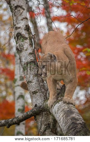 Adult Male Cougar (Puma concolor) in Birch Tree - captive animal