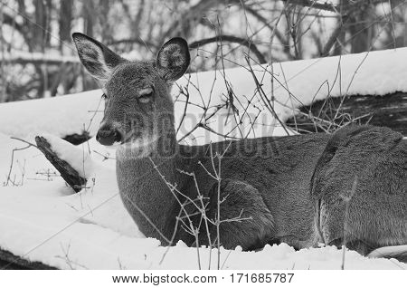Beautiful Black And White Image Of A Wild Deer In The Snowy Forest