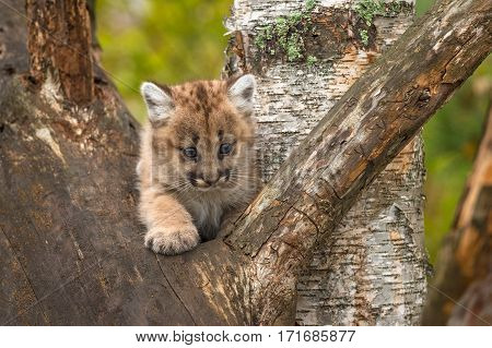 Female Cougar Kitten (Puma concolor) Paw Out in Tree - captive animal