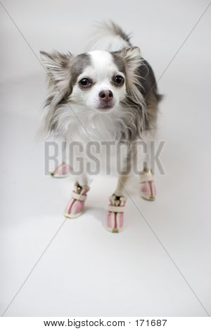 Blue And White Long Coat Chihuahu