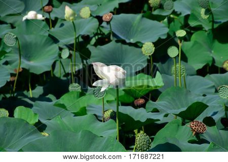 Pond With Lotuses. Lotuses In The Growing Season. Decorative Plants In The Pond