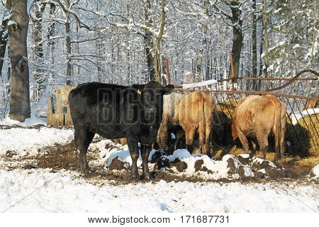 group of cows living outdoors eating hey from the heyloft in winter