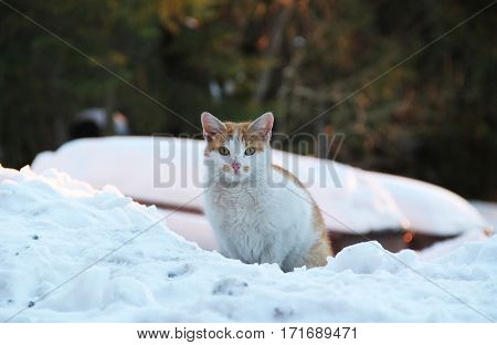 white and brown cat in the snow in winter