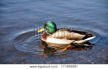 Detailed view of the animals -  bird,  duck on a pond