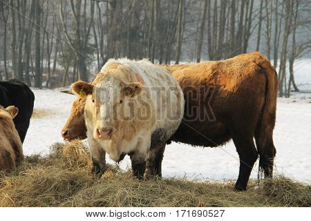 beige and brown cows eating hey in winter