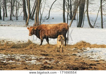 little calf and cow on the hey in winter
