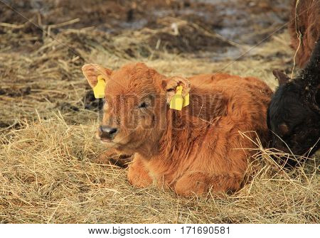 cute small ginger calf lying and relaxing on the hey