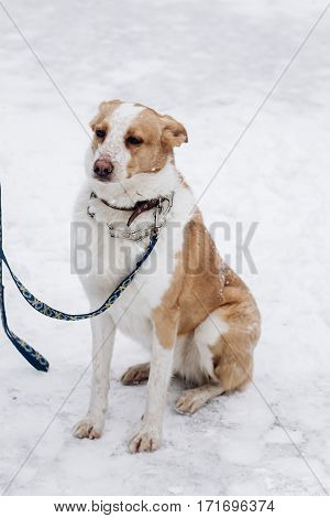 Sweet Beige Dog Sitting In Snowy Cold Winter Park. Adoption Concept. Save Animals. Space For Text. S
