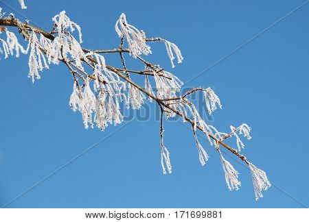 beautiful white twig covered with hoarfrost and snow and blue sky in winter