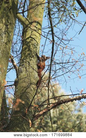 cute ginger squirrel climbing the tree in autumn