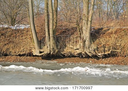 trees growing onthe undermined bank of Odra river, Poodri, Czech Republic