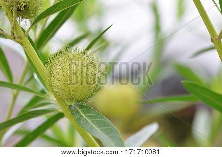 Balloon Plant Or Balloon Cotton Bush