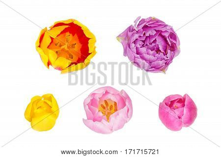 Tulips buds in different camera angles isolated on white background elements for design collage top view