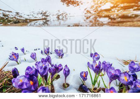 Spring crocuses in melting snow. Carpathians Ukraine Europe
