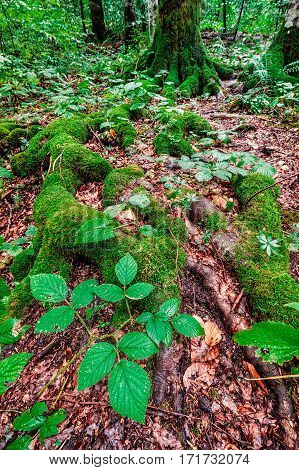 Huge roots covered with green moss in Plitvice forest,Croatia