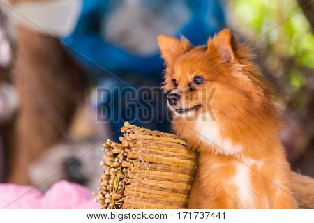Cute Pomeranian dog , pet mammal animal