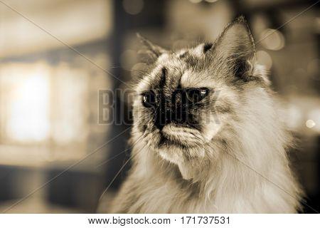 Persian Cat lovely animal and pet, fur kitten