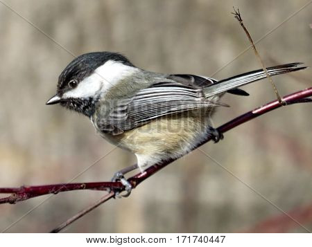 Black-capped chickadee on a branch in Humber Bay Park on a shore of the Lake Ontario in Toronto Canada February 16 2017