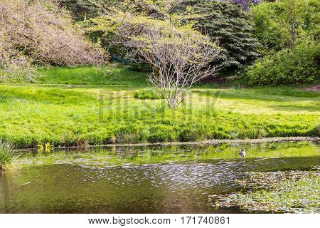 One small green duck swimming in large lily pond
