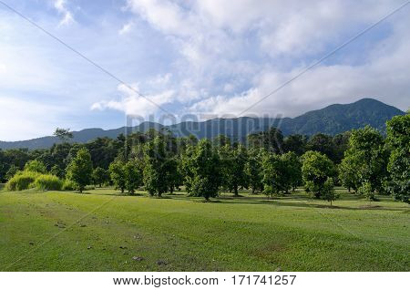 soursop trees or annona muricata at orchard surrounded by rainforest and mountains of daintree national park north queensland australia