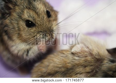 little hamster is an animal with long antennae