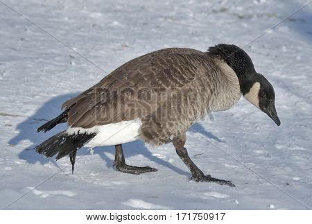 A goose with its head in a downward position.