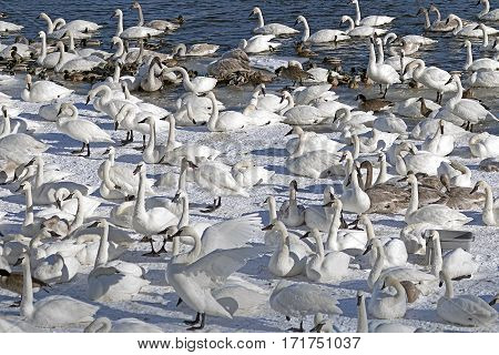 Monticello trumpeter swans gathered near the river.