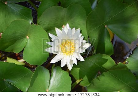 White Beautiful Lotus Flower With Green Leave