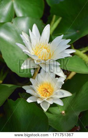 2 Blooming Lotus Flowers With Lotus Leave In  Background