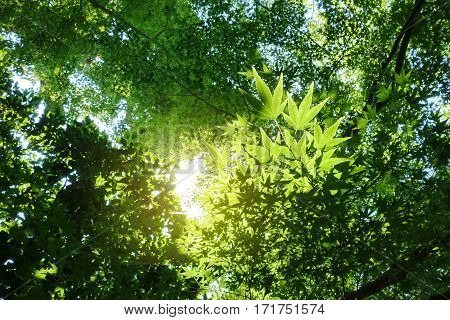 Shooting backlit trees Japanese maple in the summer from wayside between sidewalk travel . Selective focus.