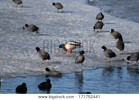 mallard on ice between black ducks eating clam