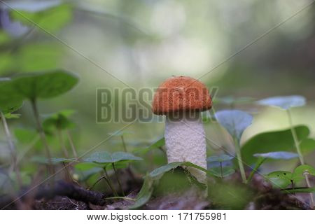 Mushroom In The Grass In A Good Day