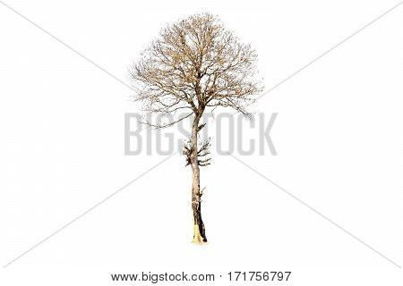 Dry tree isolated on white background with clipping path.