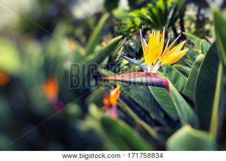 beautiful Strelitzia Reginae a bird of paradise