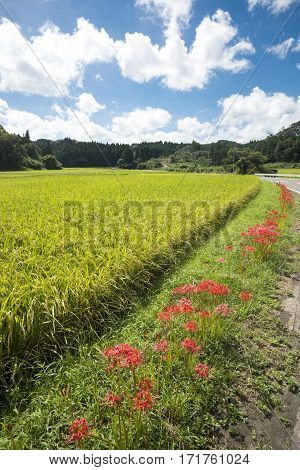 Lined red spider lily flowers side of rice field under sky in vertical composition